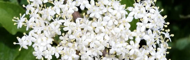 elderflower_wide
