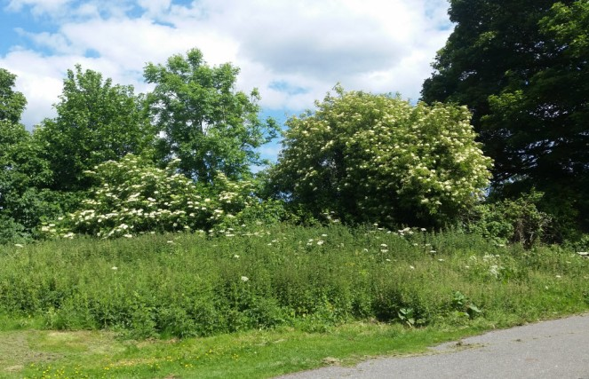 elder-trees-v-cow-parsley