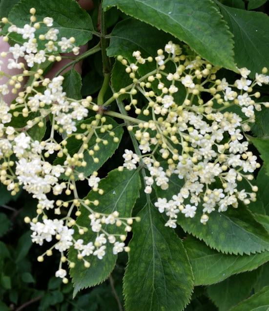 elderflower-partially-in-bloom