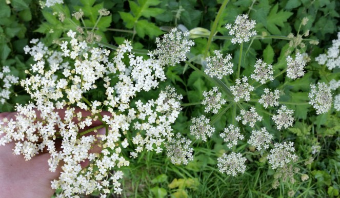 elderflower-v-cowparsley