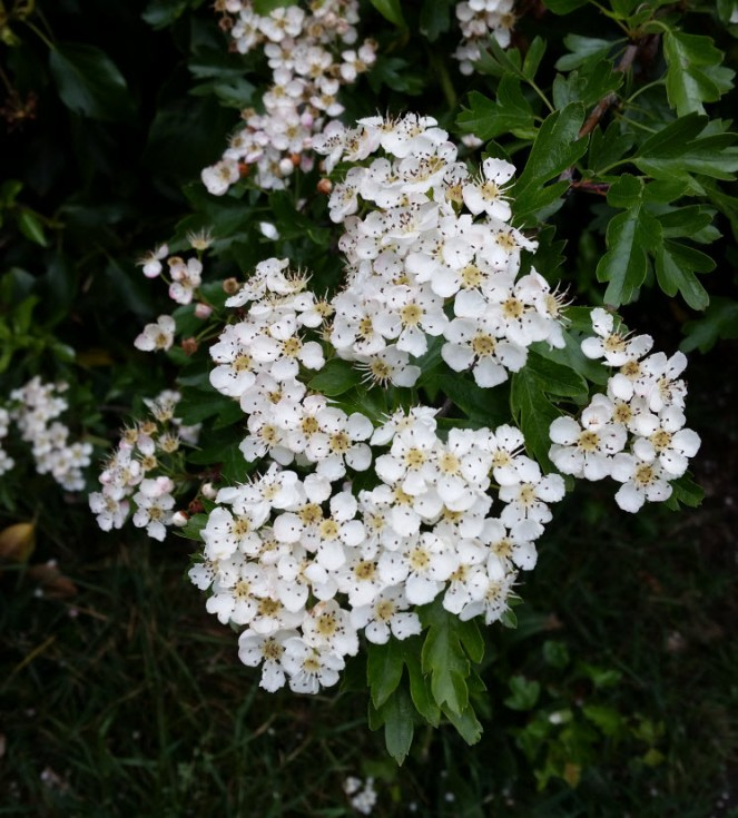not-elderflower6