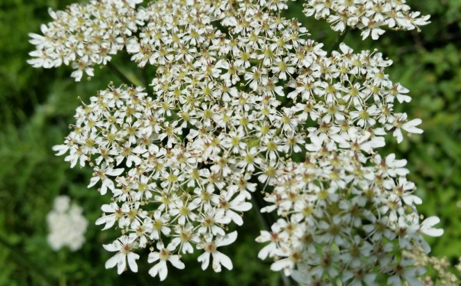 not_elderflower3